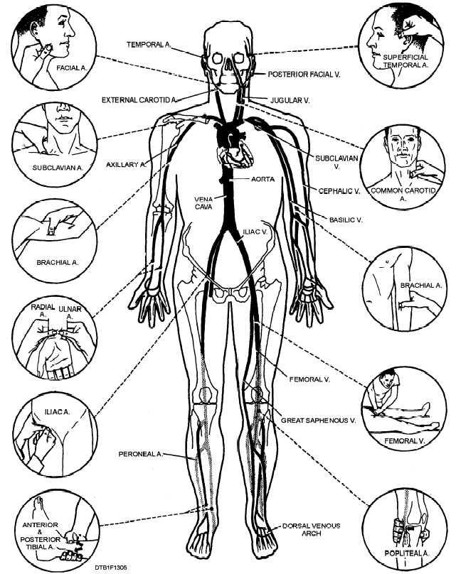 organs in human body. human desktop organs body