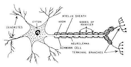 Anatomy Of Coral as well Potential Divider with Thermistor moreover Ballast furthermore A Clinical Overview Of The Nervous System moreover Management information system. on central system diagram