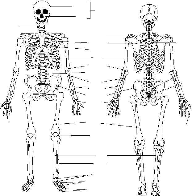 bone classifications, Human Body